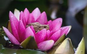 Картинка цветок, лягушка, водяная лилия