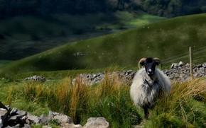 Картинка природа, пастбище, барашек, овечка, холмы, пейзаж, трава, камни, баран, взгляд, домашний скот, овца