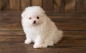 Картинка взгляд, собака, пушистый, щенок, белые, померанский шпиц