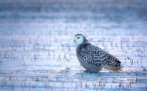 Картинка зима, поле, трава, взгляд, снег, сова, птица, белая, сидит, полярная сова, пестрая