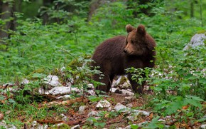 Картинка лес, листья, медведь, медвежонок, бурый