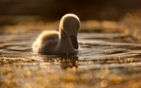 Картинка на воде, боке, птенец лебедя