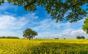 Картинка поле, небо, ветки, дерево, Англия, рапс