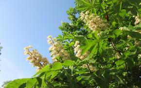 Картинка небо, цветы, каштан, весна 2018, Mamala ©, цветущий каштан