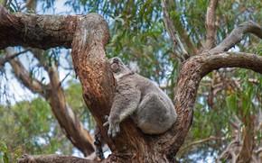 Картинка дерево, Австралия, коала, спящий