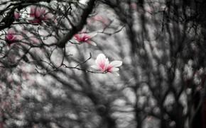 Картинка цветы, ветки, розовый, размытие, весна, черно-белое, цветение, монохром, боке, магнолия