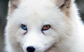 Обои fox, brown eyes, blue eyes, animal, wildlife, fur, ears, close up, Arctic fox, snout, heterochromia