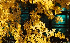 Картинка стекло, листья, свет, дерево, листва, желтые, клён, осенние листья