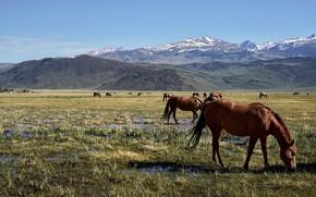 Картинка поле, горы, кони, лошади, пастбище, пасутся