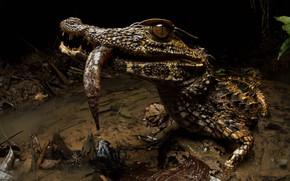 Картинка взгляд, берег, крокодил, водоем, добыча