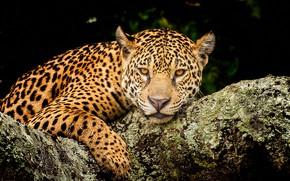 Картинка взгляд, морда, темный фон, портрет, леопард, лежит, бревно