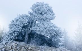 Картинка зима, иней, небо, снег, природа, туман, камни, дерево, ветви, утро, склон, дымка, ствол, сосна, раскидистое