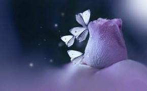 Картинка цветок, вода, капли, макро, бабочки, насекомые, природа, лепестки, боке, мотыльки, Eleonora Di Primo