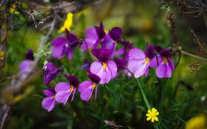 Картинка лето, цветы, природа, зеленый, фон, весна, анютины глазки, полянка, сиреневые, фиалки, лесные