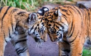 Картинка поза, дружба, пара, ласка, тигры, друзья, тигрята, два, молодые, морды, боке, лоб, два тигра, трутся