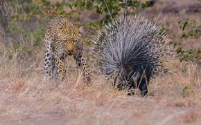Картинка Леопард, Трава, Двое, Большая кошка, Дикобраз, Дикие животные