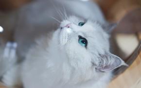 Картинка кошка, кот, взгляд, морда, фон, белая, зеленые глаза, персидская, шиншилла