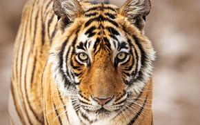Картинка взгляд, морда, тигр, дикая кошка, боке