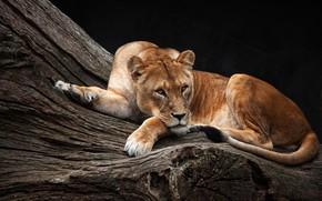Обои взгляд, поза, фон, дерево, отдых, темный, красавица, лежит, львица, зоопарк, царица