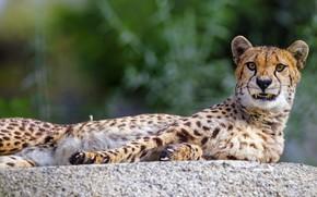 Картинка гепард, оскал, лежит