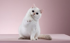 Картинка кошка, белый, взгляд, поза, котенок, фон, розовый, мордочка, котёнок, фотостудия