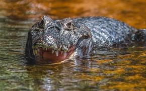 Картинка морда, вода, Аллигатор