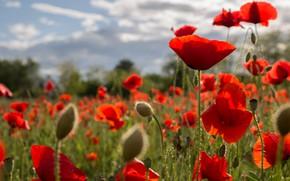 Картинка лето, облака, свет, цветы, яркие, мак, маки, луг, красные, маковое поле