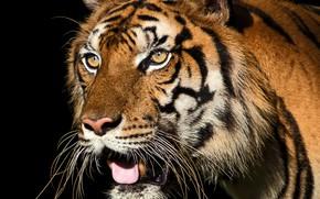 Картинка кошка, взгляд, морда, тигр, фон, черный, портрет, хищник