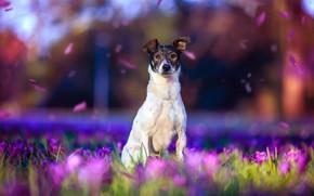 Картинка фиолетовый, взгляд, свет, цветы, природа, поза, фон, настроение, поляна, красота, собака, весна, лепестки, крокусы, белая, …