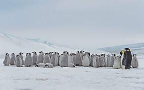 Картинка Антарктика, птенцы, императорский пингвин, Snow Hill Island