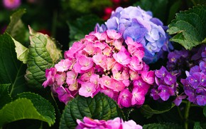 Картинка цветы, яркие, сад, гортензия