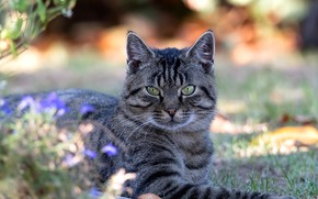 Картинка кошка, трава, кот, взгляд, свет, цветы, природа, серый, лежит, полосатый, боке
