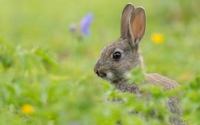 Картинка кролик, уши, мордашка, боке