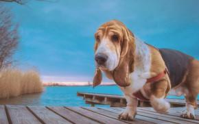Картинка вода, собака, мостик, Бассет-хаунд