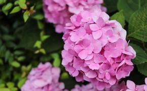 Картинка листья, цветы, розовые, гортензия