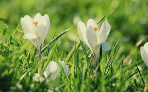 Картинка трава, весна, крокусы, белые, боке