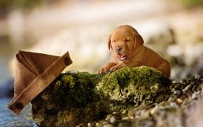Картинка язык, природа, галька, камни, фон, берег, собака, маленький, малыш, щенок, лежит, пуговицы, кораблик, лабрадор, коричневый, …