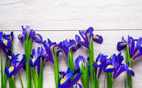 Картинка цветы, весна, ирисы