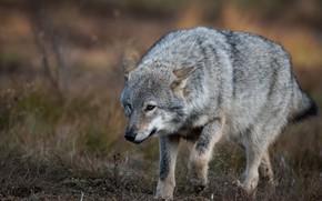 Картинка взгляд, природа, поза, серый, волк, прогулка, крадется