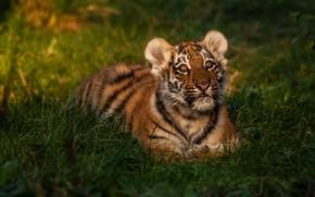 Картинка трава, взгляд, морда, свет, природа, тигр, малыш, лежит, дикая кошка, тигренок, тигрёнок