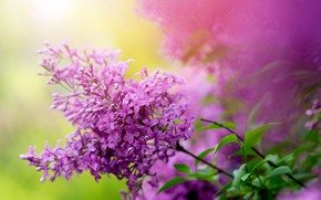 Картинка природа, куст, ветка, весна, сад, сирень
