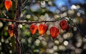 Картинка свет, природа, яркие, ветка, оранжевые, цветки, физалис, боке, коробочки