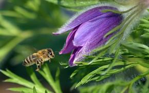 Картинка зелень, цветок, листья, макро, пчела, сиреневый, пыльца, весна, насекомое, пчёлка, прострел