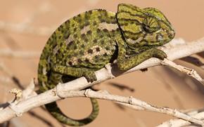 Картинка глаза, взгляд, поза, зеленый, хамелеон, фон, лапки, ветка, пятнистый, рептилия
