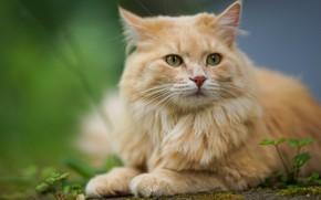 Картинка кошка, кот, взгляд, портрет, рыжий, мордочка, боке, котейка