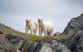 Картинка Канада, белые медведи, Национальный парк Торнгат Маунтинс
