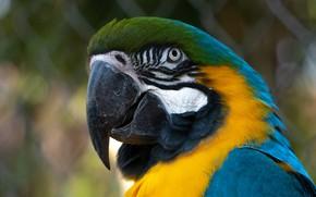 Картинка взгляд, фон, сетка, птица, портрет, попугай, боке, ара, яркое оперение, сине-желтый