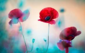 Картинка лето, свет, цветы, голубой, мак, маки, размытие, красные, трио, боке
