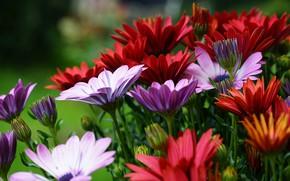 Картинка цветы, яркие, много, остеоспермум