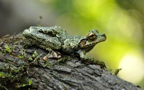 Картинка взгляд, макро, поза, фон, дерево, лягушка, кора, боке, пятнистая, древесная, узорчатая, древолаз, серо-зеленая